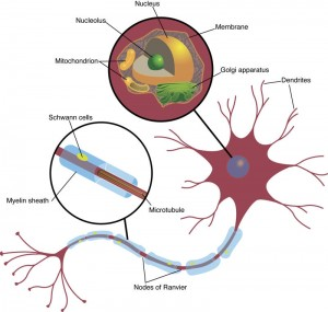 Neuron or nerve cell illustration from LeQ Medical